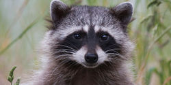 Tell Ebay to ban the sale of Fox and Racoon hats.