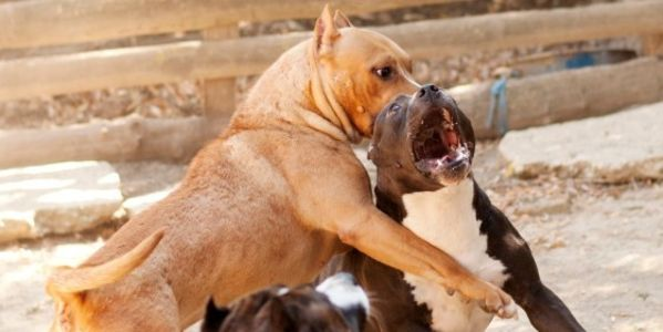 petition: Increase Penalties For Animal Fighting Criminals to Ensure