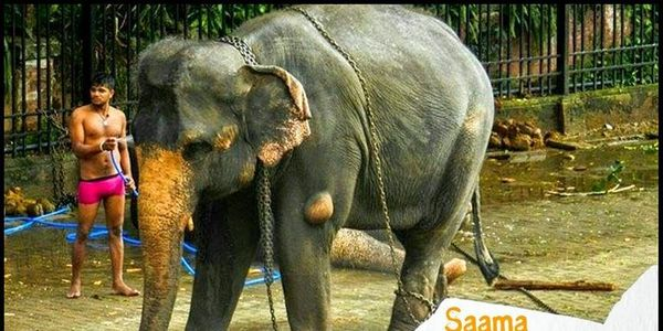 SAAMA THE ELEPHANT IN DESPERATE NEED OF PROPER VETERINARY CARE