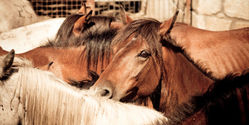 Nevada, Don't Slaughter Wild Horses!