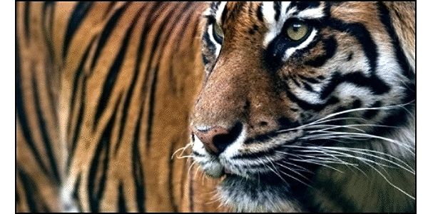 Save the Sundarbans Bengal Tigers