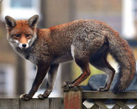Tell London- All Foxes Shouldn't Pay for One Attack!