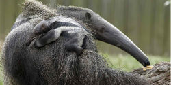 Bolivia- Ban Sport Hunting of Giant Anteater
