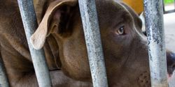 DO NOT EUTHANIZE THE 31 DOGS SEIZED FROM ALLEGED FIGHTING-RING IN CHATHAM, ONTARIO