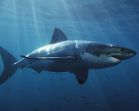 Western Australian Government- Abandon your irresponsible policy to cull Great White Sharks.