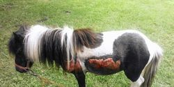 Punish Man Who Dragged and Abused His Shetland Pony