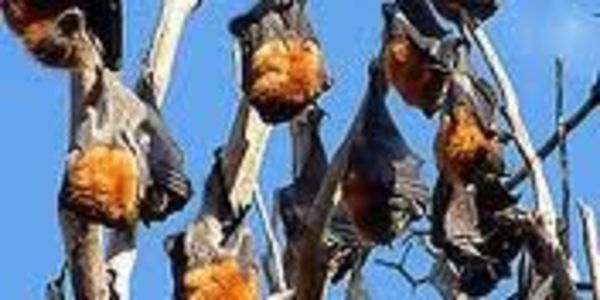 Save the Flying Foxes of Charters Towers