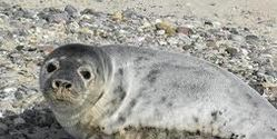 Conservatives Plan Seal Cull