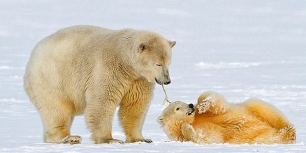 Ask Canada to Stop Hunting the Endangered Polar Bear