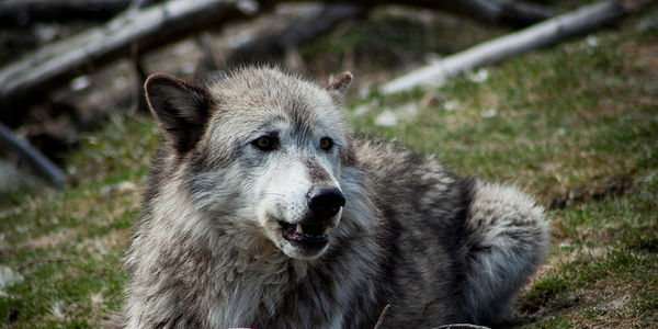Ask Congress to Investigate the USDA Wildlife Service