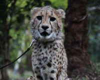 Tumbo Petition 2 - The Disabled Cheetah Cub of Kenya - Cee4life