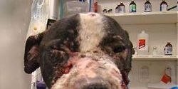 Make Dog Fighting and Spectatorship a Federal Felony Offense