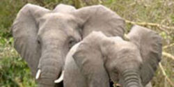 Save Elephants: End Illegal Ivory Imports