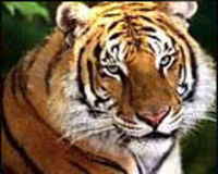Save The Tigers!!!!!