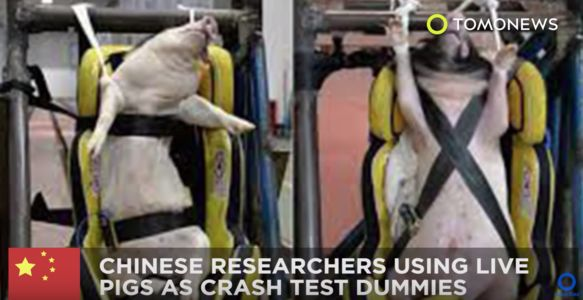 Screenshot from TOMONEWS of baby pigs used as crash test dummies