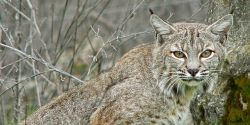 New York- Stop Hunting and Trapping Bobcats