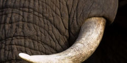 Ban ALL Ivory Imports to the United States