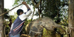 Tell Thailand to End Smuggling and Torture of Baby Elephants