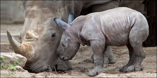Stop Hunting Endangered White Rhinos