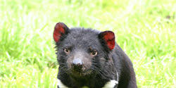 Stop the Cull of Tasmanian Devils