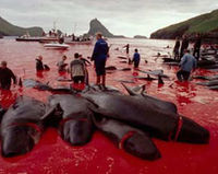 Stop the killing of pilot whales in Denmark