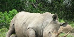 RHINOS ARE FACING CERTAIN EXTINCTION