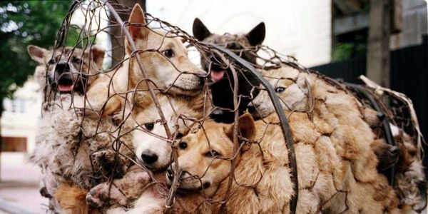 STOP the summer solstice June 21st DOG MEAT FESTIVAL YULIN !!!