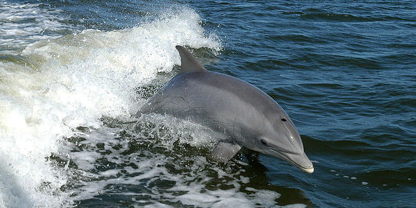 Stop Using Dolphins As Shark Bait in Peru