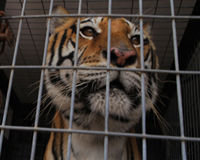Tell Congress: Big Cats are NOT Pets!