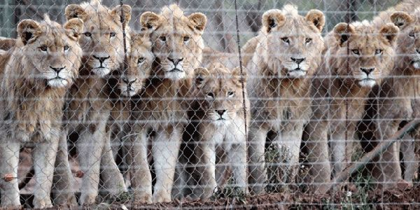 Arizona- Ban Canned Hunting