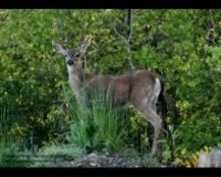 Stop the Grand Forks Deer Kill Plan
