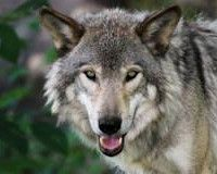 Petition Against Wolf Hunting in Michigan