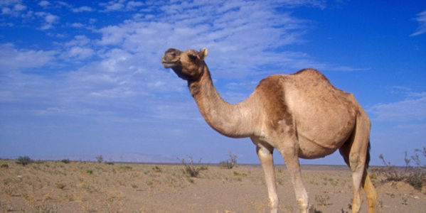 India: Protect Camels Before It's Too Late!