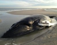 DEMAND JUSTICE FOR JOHANNES! THE WHALE THAT STRANDED..