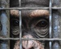Support HR 1326 The Great Ape Protection Act