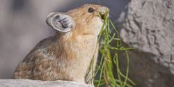 Save the American Pika!