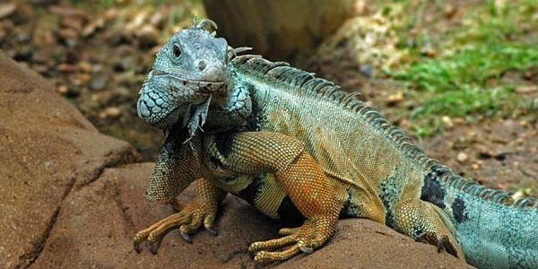 Help save the iconic Jamaican Iguana from extinction
