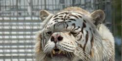 Ban Breeding White Tigers in the United States