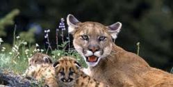 Help save the Mountain Lions