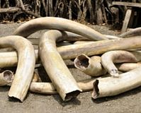 Tell Sri Lanka- Don't Donate Elephant Tusks to Religion