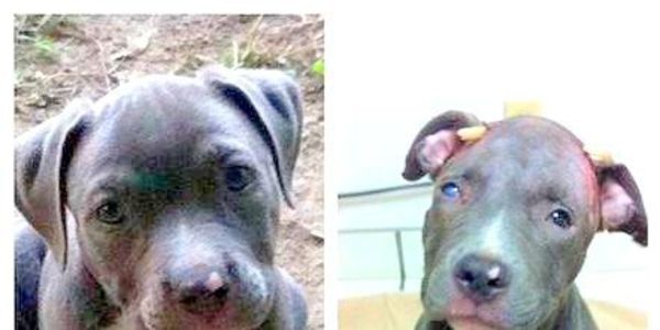 Send Thanks to the Judge who Sentenced the Man 10-Years for Abuse of Pit Bull Puppy
