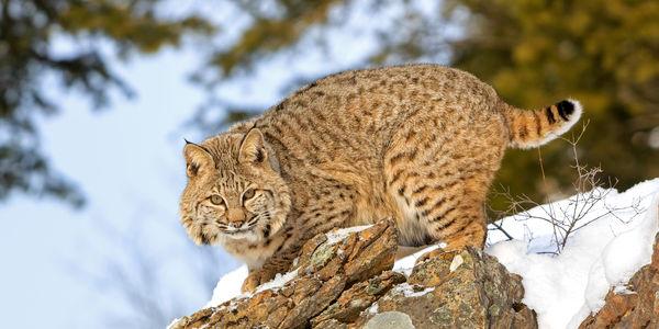 Bobcat, Care2