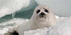 Urge Canada to End Its Shameful Seal Slaughter