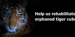 Thank you, Phoenix Fund, for saving last Amur tigers and leopards!