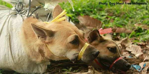 Dogs in Indonesia tied up for the dog meat industry
