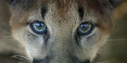 List the Florida Panther as Critically Endangered