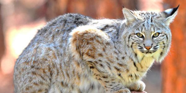 Montana: Say NO to Bobcat Fur Farm!