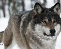 Bring Grey Wolves to the Denver Zoo