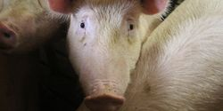 Last Chance to Sign: Say No to the Suffering of Millions of EU Pigs!