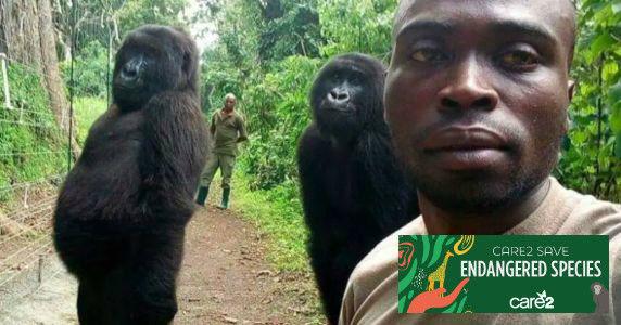 Gorillas with caretakers at Virunga National Park